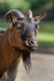 Dwarf goat Stock Images
