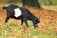 Dwarf goat Stock Photo