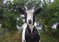 Dwarf Goat, Small, Black And White Royalty Free Stock Image