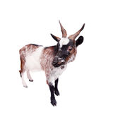 Dwarf goat on the white. Dwarf goat isolated on the white background royalty free stock image