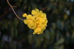 Dwarf Golden Trumpet flower in Thai Stock Photo