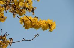 Dwarf Golden Trumpet flower in Thailand Stock Images