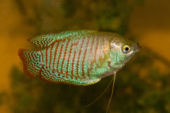Dwarf gourami Royalty Free Stock Photo