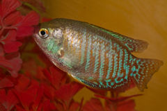 Dwarf Gourami Royalty Free Stock Images