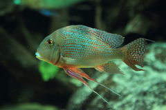 Dwarf gourami Stock Photography