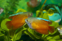 Dwarf Gourami in Aquarium Royalty Free Stock Image