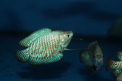 Dwarf gourami (Colisa lalia) aquarium fish Stock Images