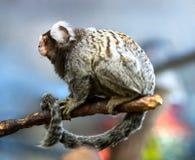 Dwarf green monkey Stock Photos