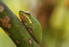 Dwarf green tree frog in plant Royalty Free Stock Photography
