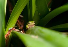 Dwarf green tree frog in plant Stock Photography