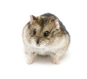 Dwarf hamster. Isolated on white Stock Photos