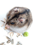 Dwarf hamster Royalty Free Stock Images