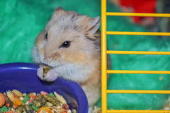 Dwarf Hamster. Cute little pet dwarf hamster eating Stock Images