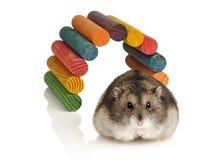 Free Dwarf Hamster Stock Photos - 27863473