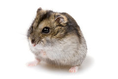 Dwarf hamster Stock Photography