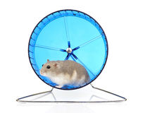 Dwarf Hamster in Exercise Wheel Stock Photo