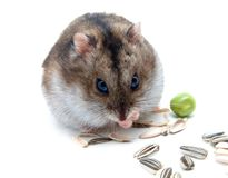 Dwarf hamster clicks sunflower seeds Royalty Free Stock Photo