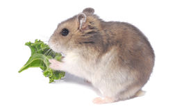 Dwarf hamster Royalty Free Stock Photography