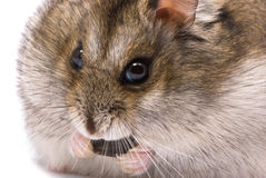 Dwarf hamster eat sunflower seed Stock Images