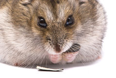 Dwarf hamster eat sunflower seed Royalty Free Stock Photography