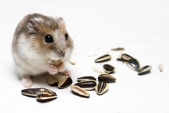 Dwarf Hamster Eating Melon Seeds. A Dwarf Hamster Eating Melon Seeds against a white background Royalty Free Stock Photo