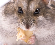 Dwarf hamster eating pumpkin seed Stock Photography