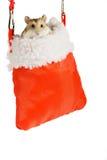 Dwarf hamster gift. Royalty Free Stock Image