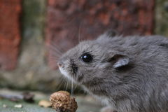 Dwarf hamster. (Phodopus campbelli) snuggles into a fluffy ball after it is cornered along the brick wall Stock Photos