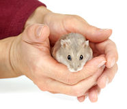 Winter White Dwarf Hamster Stock Photos