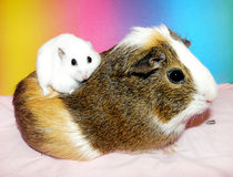Dwarf hamster sitting on guinea pig Stock Photography