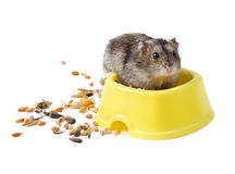 Dwarf hamster in yellow bowl Stock Images