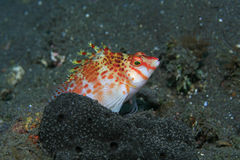 Dwarf hawkfish Stock Images