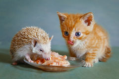 Dwarf hedgehog and red kitten eating  together. Dwarf hedgehog and red kitten eating from the saucier together Royalty Free Stock Photography