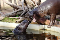 Dwarf hippopotamus Stock Photography