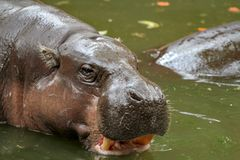 Dwarf hippopotamus in water. Liberiensis pygmy nature choeropsis young background portrait outdoor animal single wild mammal african zoo aquatic amphibius stock images
