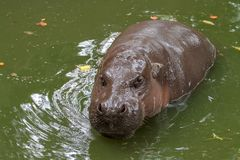 Dwarf hippopotamus in water. Liberiensis pygmy nature choeropsis young background portrait outdoor animal single wild mammal african zoo aquatic amphibius stock image