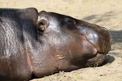 Dwarf hippopotamuses. Sleeping dwarf hippopotamuses of near royalty free stock photos