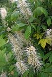 Dwarf horse chestnut flowers Stock Image