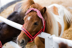 Dwarf horse Royalty Free Stock Images