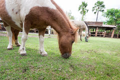 Dwarf Horse eating grass Royalty Free Stock Images
