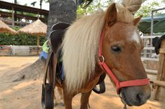 Dwarf horse in a farm. Northern of Thailand Stock Images