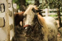 The dwarf horse is on a farm within the forest park. stock photography