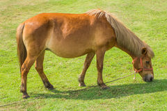 Dwarf horse. Grazing in a field delicious Royalty Free Stock Photo