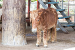 Dwarf horse. Stock Photography