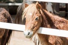 Dwarf horse. Stock Image