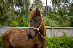 Dwarf horse royalty free stock photos