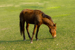 Dwarf horse in a pasture Stock Photography