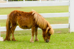 Dwarf horse in a pasture Stock Image