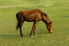 Dwarf horse in a pasture Royalty Free Stock Photo