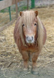 Dwarf Horse in stable Royalty Free Stock Photos